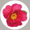 山茶花種子萃取